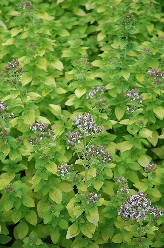 Golden Oregano (Origanum vulgare 'Aureum') at Meadows Farms Nurseries