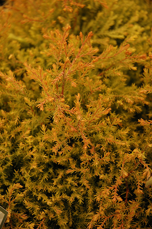 Fire Chief Arborvitae (Thuja occidentalis 'Congabe') at Meadows Farms Nurseries