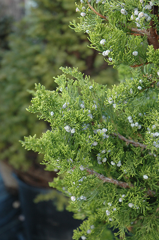 Hollywood Juniper Juniperus Chinensis Torulosa In