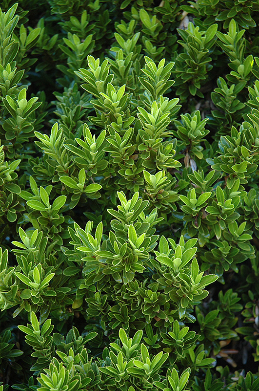 Boxleaf Euonymus Euonymus Japonicus Microphyllus In