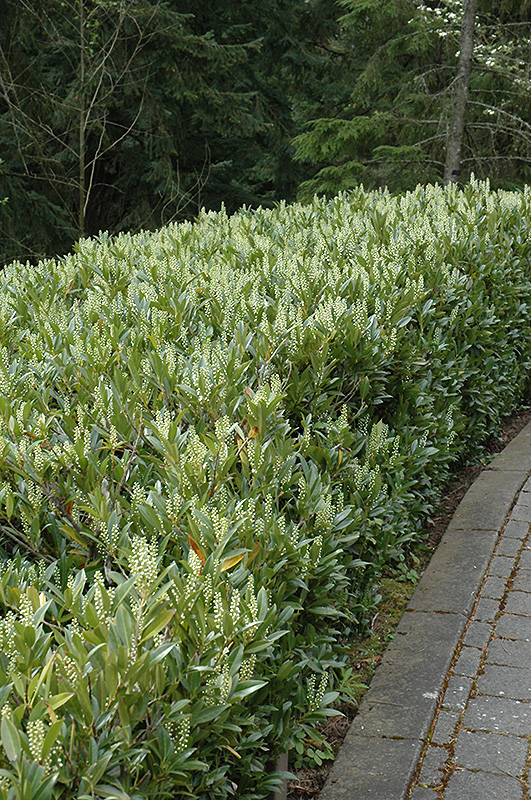 Otto Luyken Dwarf Cherry Laurel (Prunus laurocerasus 'Otto Luyken') at Meadows Farms Nurseries