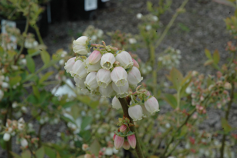 Duke Blueberry (Vaccinium corymbosum 'Duke') at Meadows Farms Nurseries