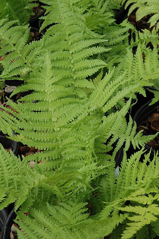 The King Ostrich Fern (Matteuccia 'The King') at Meadows Farms Nurseries