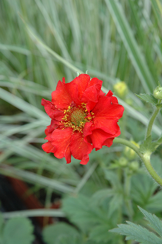 Red Dragon Avens (Geum 'Red Dragon') at Meadows Farms Nurseries