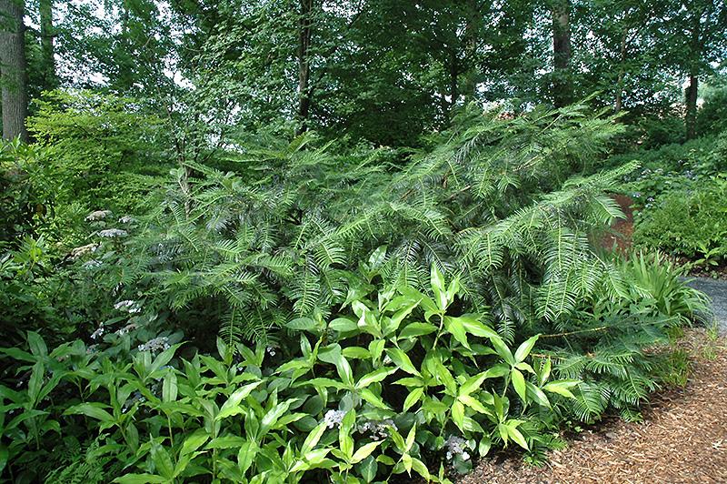 Chinese Plum Yew Cephalotaxus Fortunei In Richmond