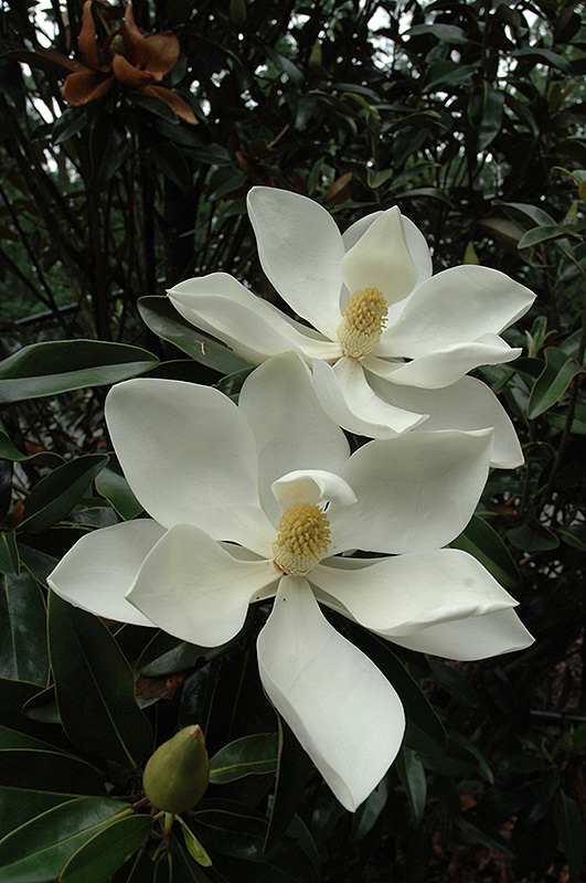 Little Gem Magnolia Magnolia Grandiflora Little Gem In Richmond