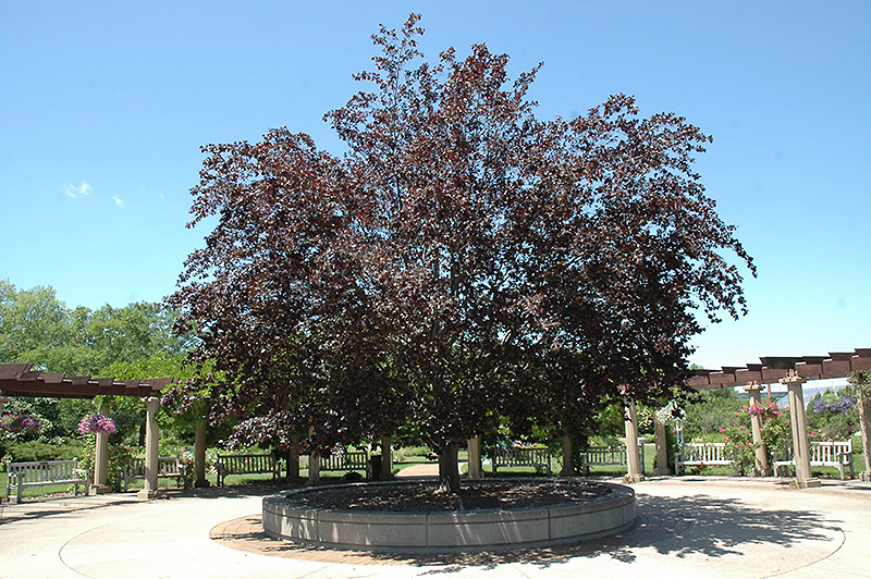 Purple Beech (Fagus sylvatica 'Purpurea') at Meadows Farms Nurseries