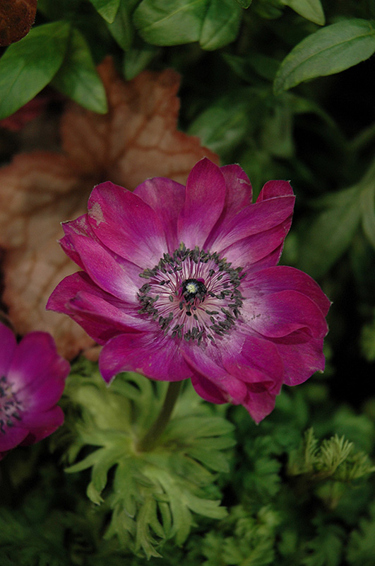 Harmony Orchid Anemone (Anemone 'Harmony Orchid') at Meadows Farms Nurseries