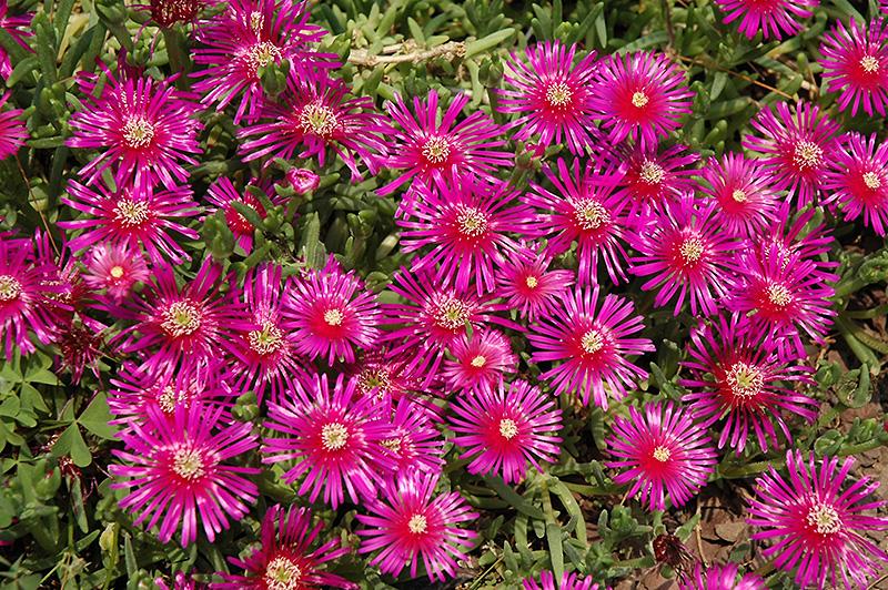 Purple Ice Plant Delosperma Cooperi In Richmond Fairfax