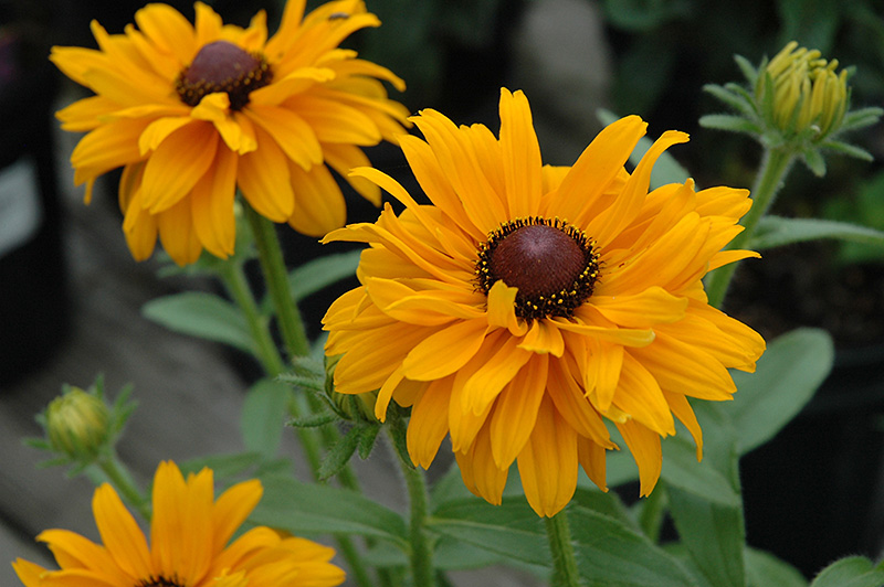 Goldilocks Coneflower (Rudbeckia hirta 'Goldilocks') at Meadows Farms Nurseries