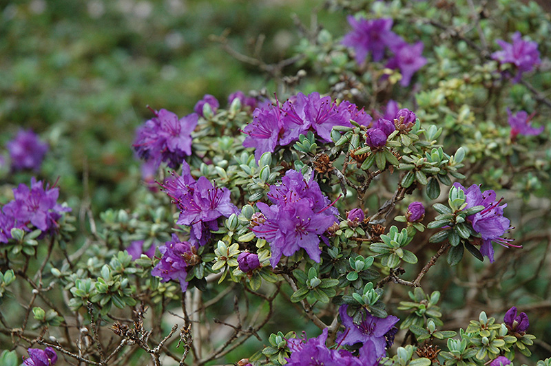 Dwarf Purple Rhododendron (Rhododendron impeditum) at Meadows Farms Nurseries