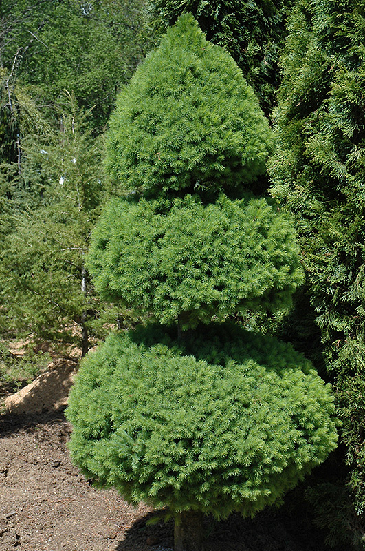 Dwarf Alberta Spruce (Picea glauca 'Conica (pom pom)') at Meadows Farms Nurseries