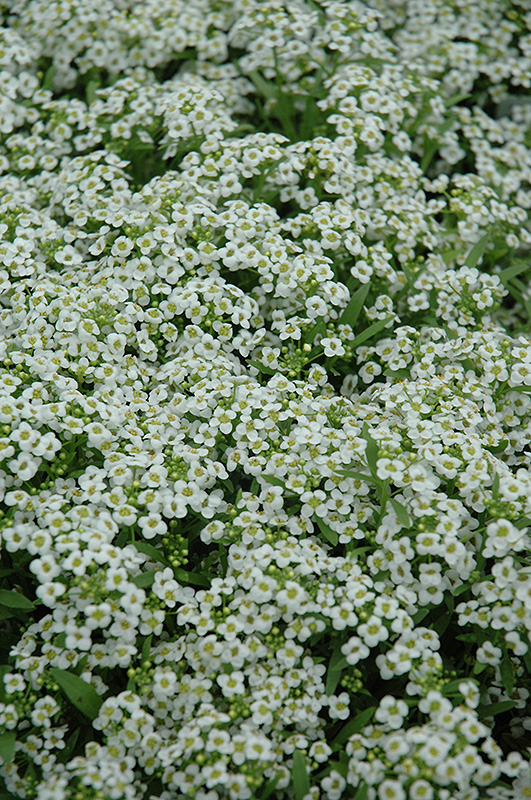 Wonderland White Alyssum (Lobularia maritima 'Wonderland White') at Meadows Farms Nurseries