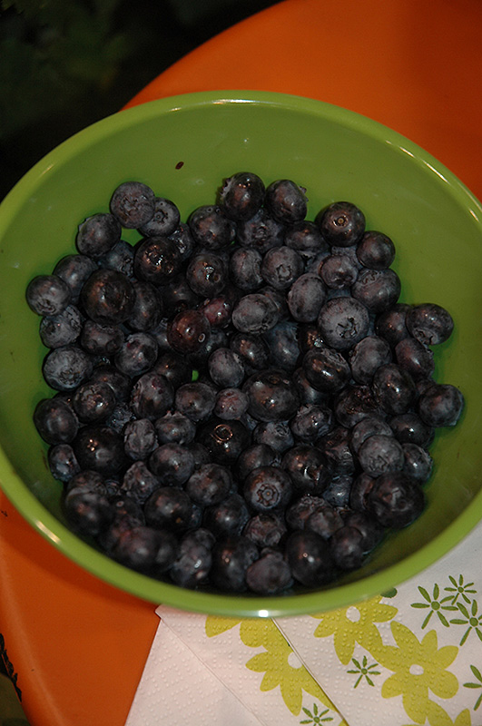 Peach Sorbet Blueberry (Vaccinium 'ZF06-043') at Meadows Farms Nurseries