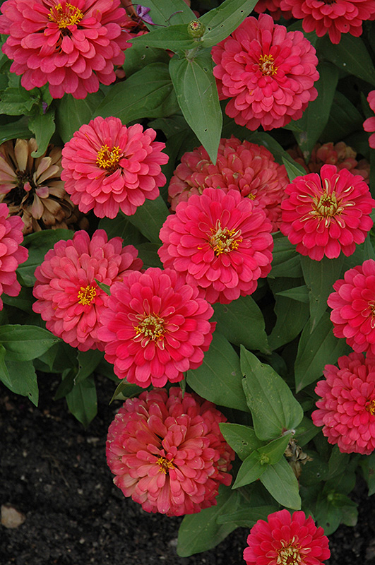 Magellan Cherry Zinnia (Zinnia 'Magellan Cherry') at Meadows Farms Nurseries