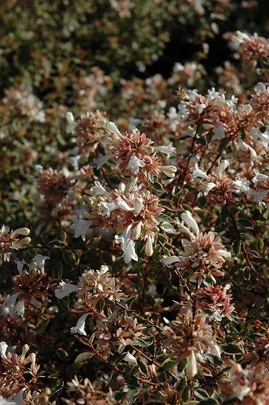 Sunshine Daydream Abelia Abelia X Grandiflora Abelops In
