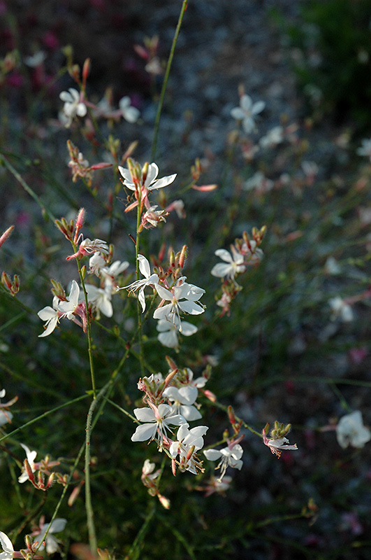 Ballerina White Gaura (Gaura lindheimeri 'Ballerina White') at Meadows Farms Nurseries