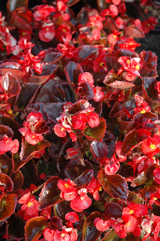 Yin Red Begonia (Begonia 'Yin Red') at Meadows Farms Nurseries
