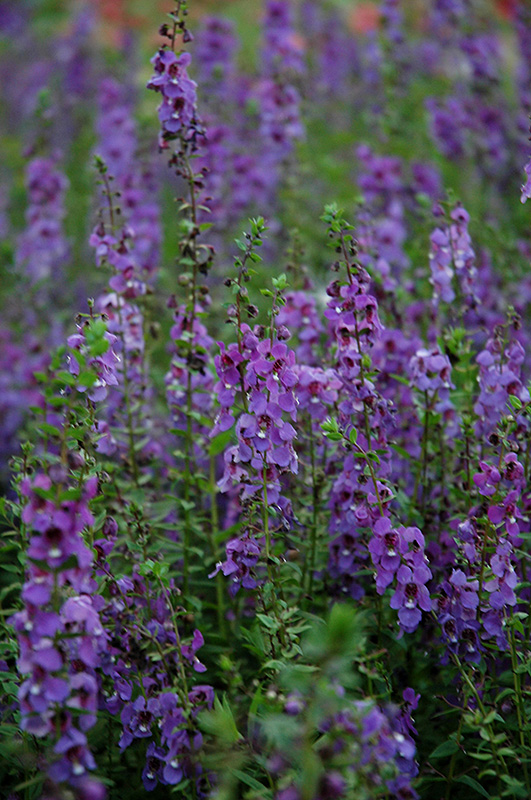 Serena Blue Angelonia Angelonia Angustifolia Serena Blue In