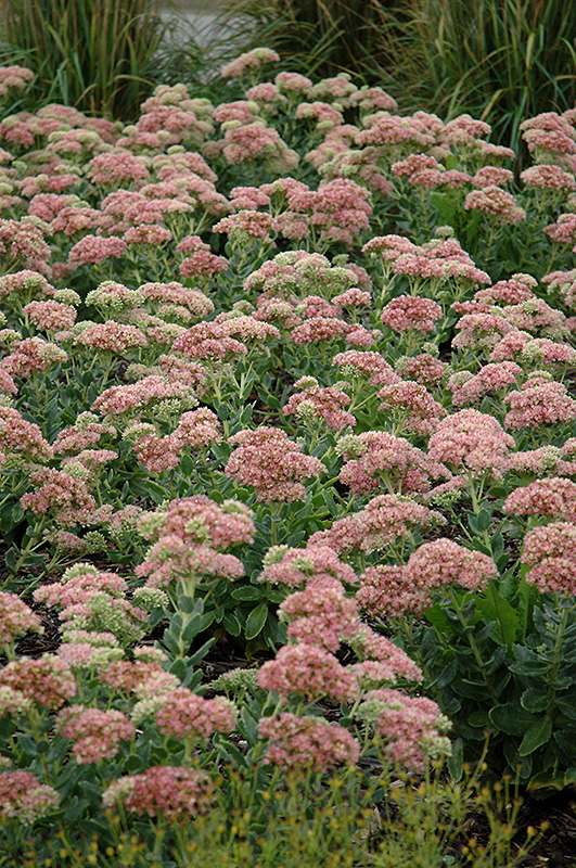 Autumn Joy Stonecrop (Sedum 'Autumn Joy') at Meadows Farms Nurseries