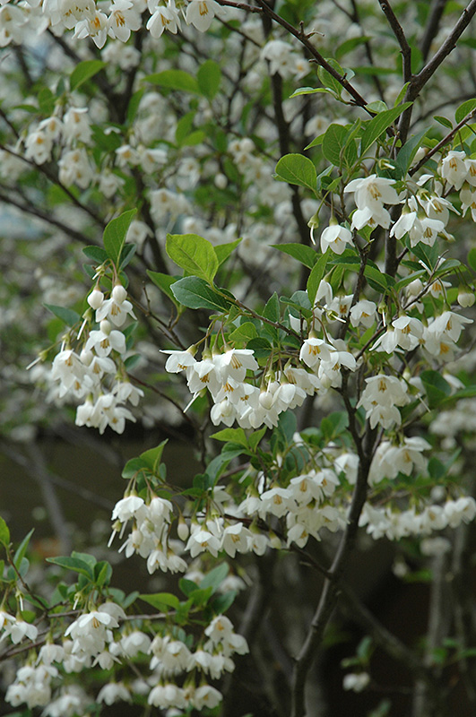 Japanese Snowbell (Styrax japonicus) at Meadows Farms Nurseries