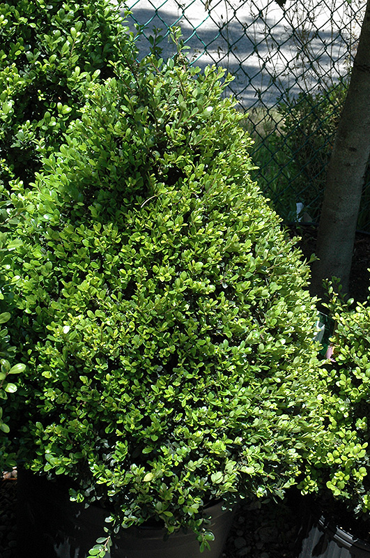 Compact Japanese Holly Ilex Crenata Compacta In