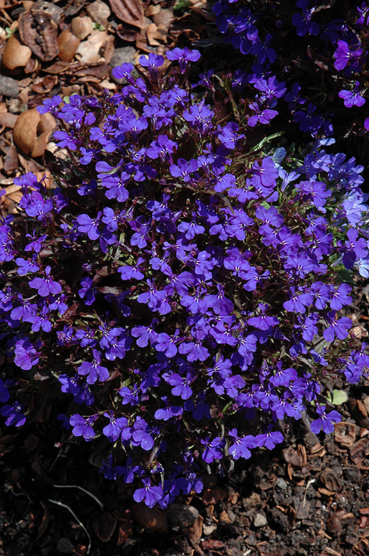 Royal Palace Lobelia Lobelia Erinus Royal Palace In Richmond