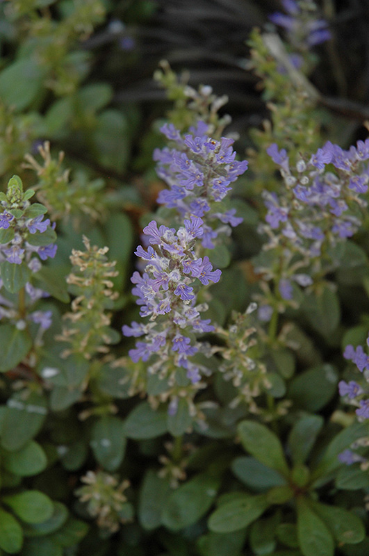 Mint Chip Bugleweed (Ajuga 'Mint Chip') at Meadows Farms Nurseries