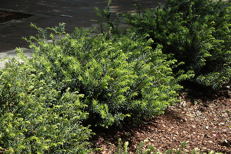 Yewtopia Plum Yew (Cephalotaxus harringtonia 'Plania') at Meadows Farms Nurseries