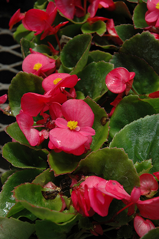 Super Olympia Rose Begonia Begonia Super Olympia Rose