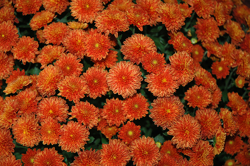 Daybreak Dark Bronze Chrysanthemum (Chrysanthemum 'Daybreak Dark Bronze') at Meadows Farms Nurseries