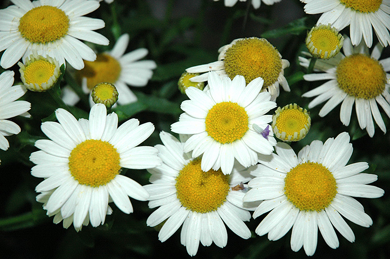 White Mountain Shasta Daisy (Leucanthemum x superbum 'White Mountain') at Meadows Farms Nurseries