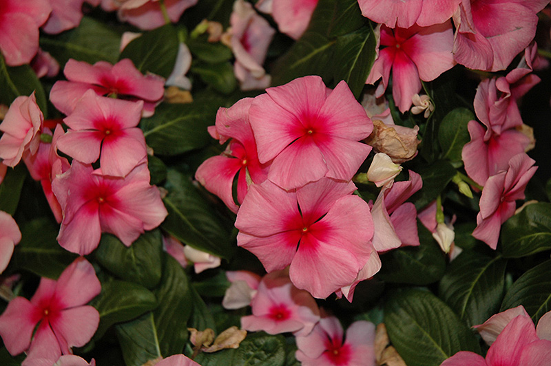 Cora Cascade Strawberry Vinca (Catharanthus roseus 'Cora Cascade Strawberry') at Meadows Farms Nurseries