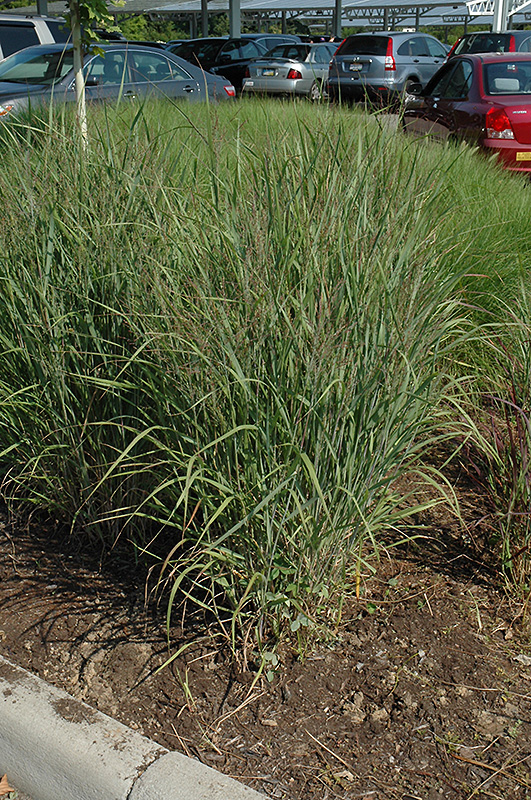 Ruby Ribbons Switch Grass (Panicum virgatum 'Ruby Ribbons') at Meadows Farms Nurseries