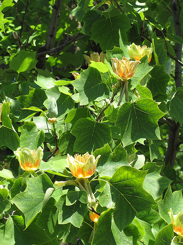 Tuliptree (Liriodendron tulipifera) at Meadows Farms Nurseries