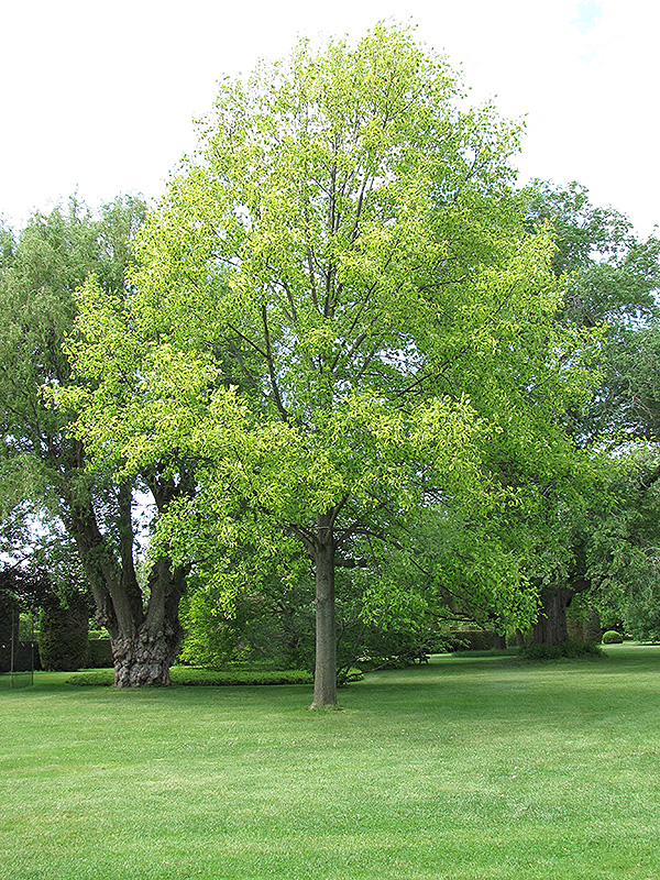 Yellow Variegated Tuliptree Liriodendron Tulipifera