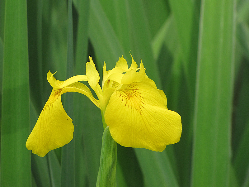Yellow Flag Iris (Iris pseudacorus) at Meadows Farms Nurseries