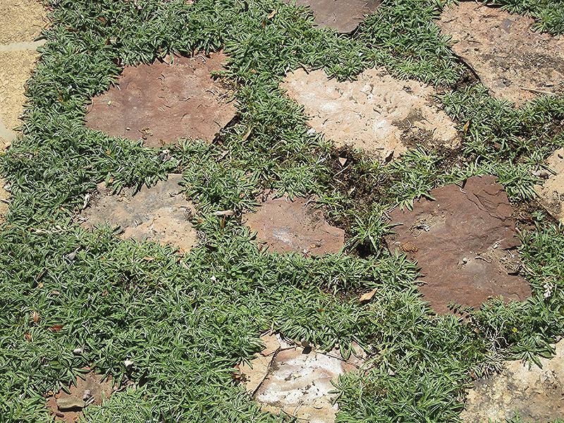 Silver Carpet Dymondia Margaretae In Richmond Fairfax