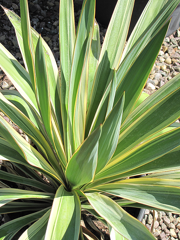 Color Guard Adam's Needle (Yucca filamentosa 'Color Guard') at Meadows Farms Nurseries