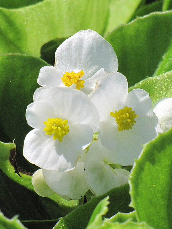 Super Olympia White Begonia (Begonia 'Super Olympia White') at Meadows Farms Nurseries