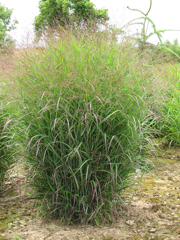 Prairie Sky Switch Grass (Panicum virgatum 'Prairie Sky') at Meadows Farms Nurseries