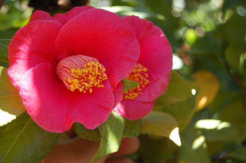 Japanese Camellia (Camellia japonica) in Richmond Fairfax Loudoun ...