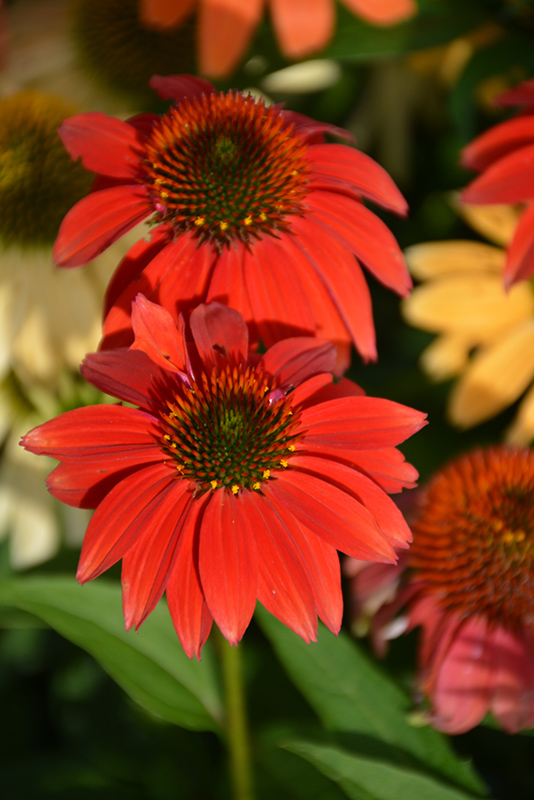 Cheyenne Spirit Coneflower (Echinacea 'Cheyenne Spirit') at Meadows Farms Nurseries