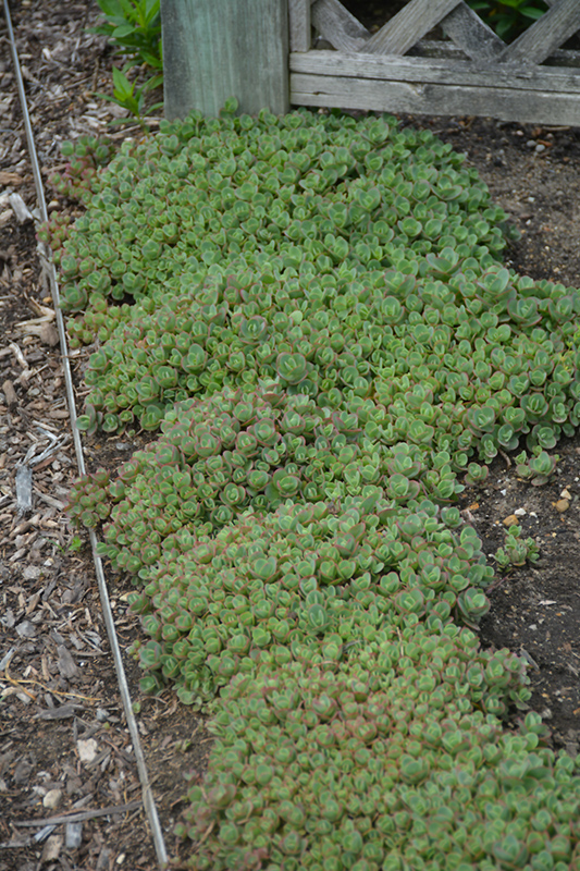 Lime Zinger Stonecrop (Sedum 'Lime Zinger') at Meadows Farms Nurseries