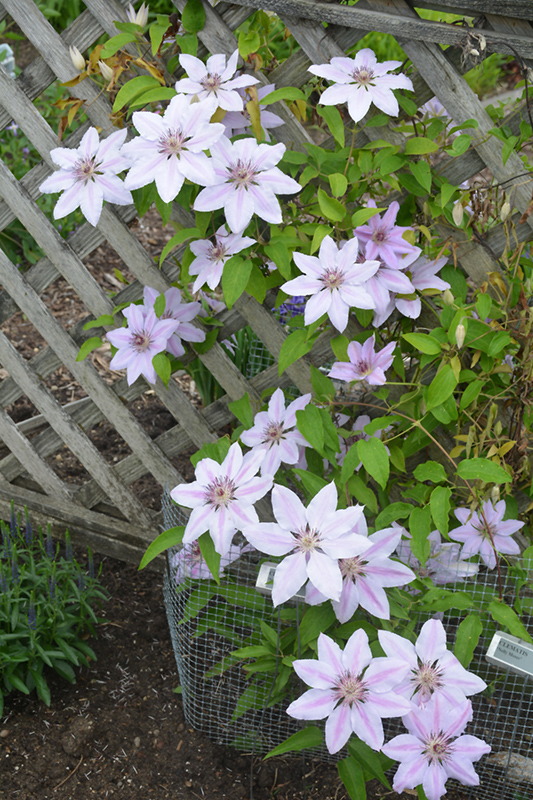 Nelly Moser Clematis (Clematis 'Nelly Moser') at Meadows Farms Nurseries