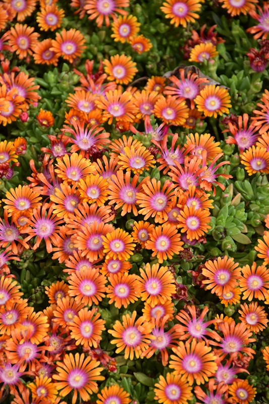 Fire Spinner Ice Plant (Delosperma 'Fire Spinner') at Meadows Farms Nurseries