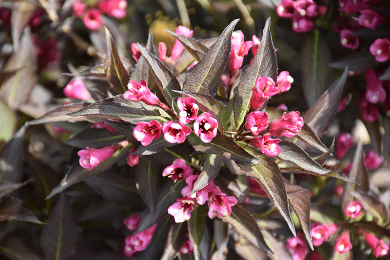 Midnight Wine Weigela (Weigela florida 'Elvera') at Meadows Farms Nurseries