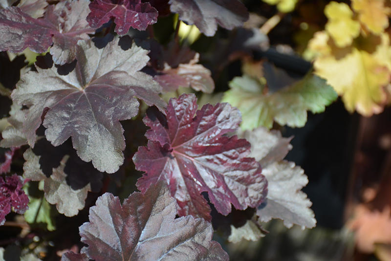 Obsidian Coral Bells (Heuchera 'Obsidian') at Meadows Farms Nurseries