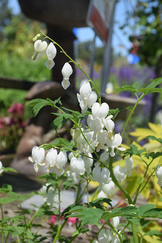 White Bleeding Heart (Dicentra spectabilis 'Alba') at Meadows Farms Nurseries