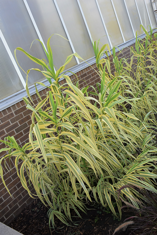 Golden Chain Giant Reed Grass (Arundo donax 'Golden Chain') at Meadows Farms Nurseries